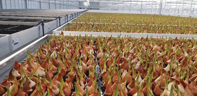 De tulpenbollen bewegen zich volautomatisch door de broeierij